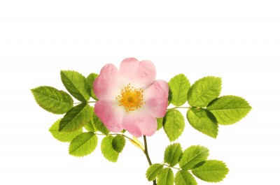 The wild rose is the official flower of the province of Alberta.